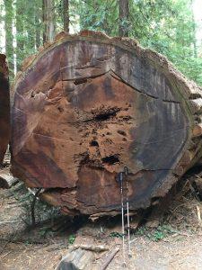 Nicht so mächtig wie die Sequoia, aber immerhin... (man sieht es an meinen Wanderstöcken).